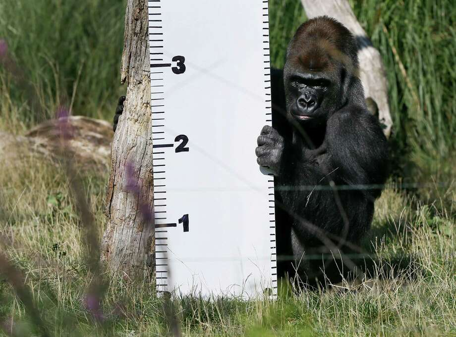 Kumbuka, a Silverback Western Lowland Gorilla sits next to a ruler during a photocall at London Zoo, Thursday, Aug. 21, 2014. Photo: Kirsty Wigglesworth, Associated Press / AP