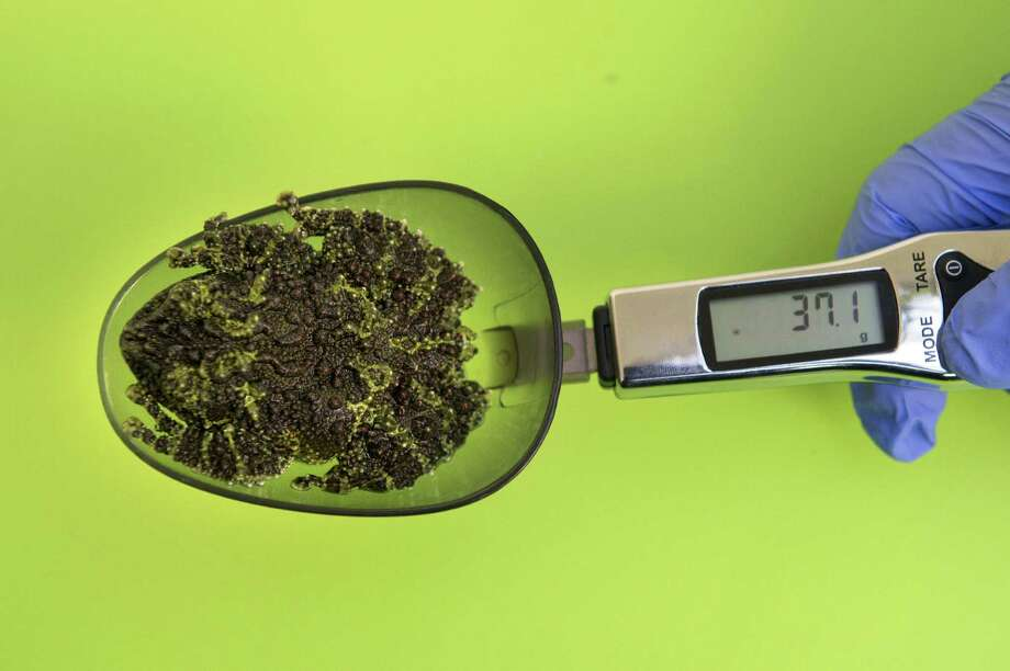 A keeper weighs a mossy frog in a weighing spoon during the annual weigh-in to record animals vital statistics at ZSL London Zoo in London on August 21, 2014. Photo: CARL COURT, AFP/Getty Images / AFP
