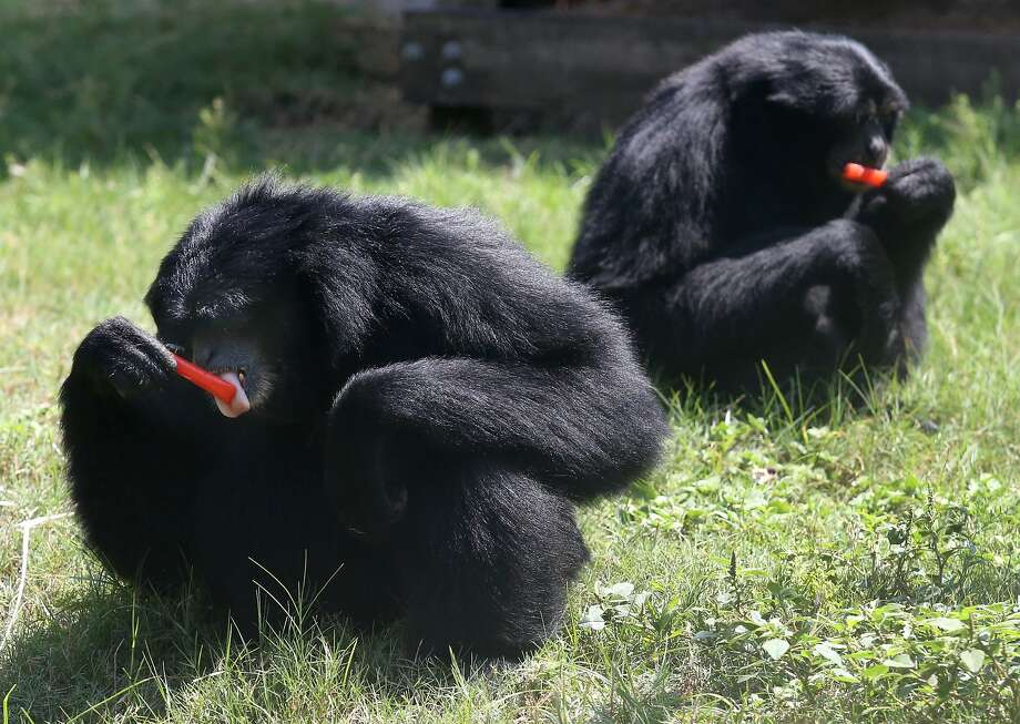 Siamang primates enjoy treats to cool off in the heat on Thursday, Aug. 21, 2014 at Zoo World in Panama City Beach, Fla. Workers at Zoo World take extra steps to keep their animals cool on hot days. (AP Photo/The News Herald, Patti Blake) Photo: Patti Blake, Associated Press