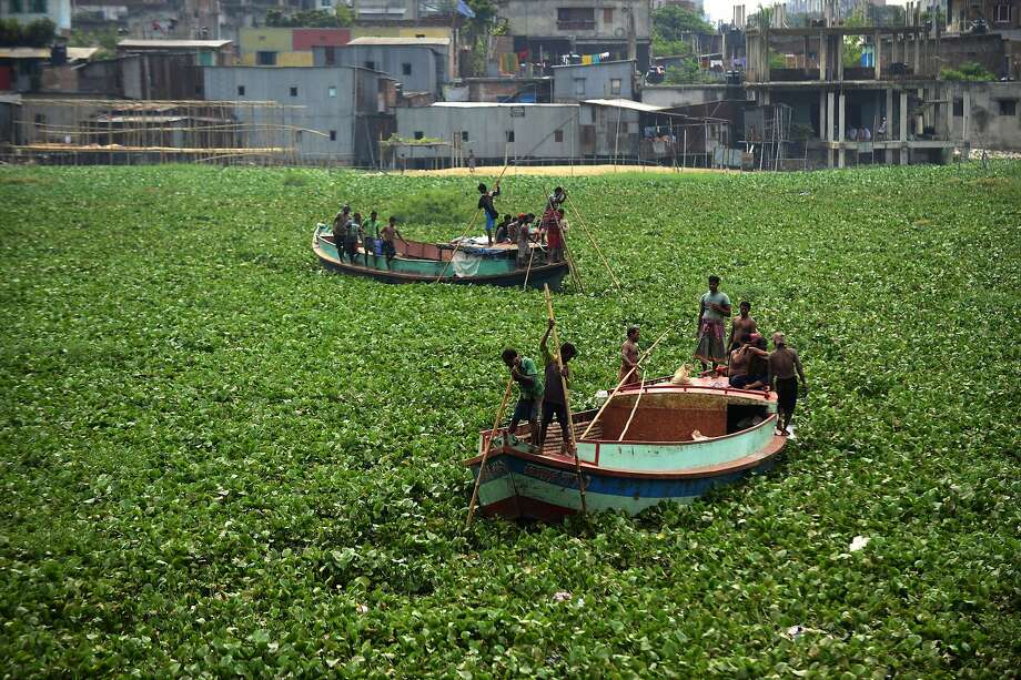 TOPSHOTS Bangladeshi boatmen navigate through dense water hyacinths over the Buriganga river in Dhaka on August 21, 2014. Water hyacinths, an invasive plant species, can quickly cover huge swathes of water bodies which hampers the movements of boats. AFP PHOTO/Munir uz ZAMANMUNIR UZ ZAMAN/AFP/Getty Images Photo: Munir Uz Zaman, AFP/Getty Images