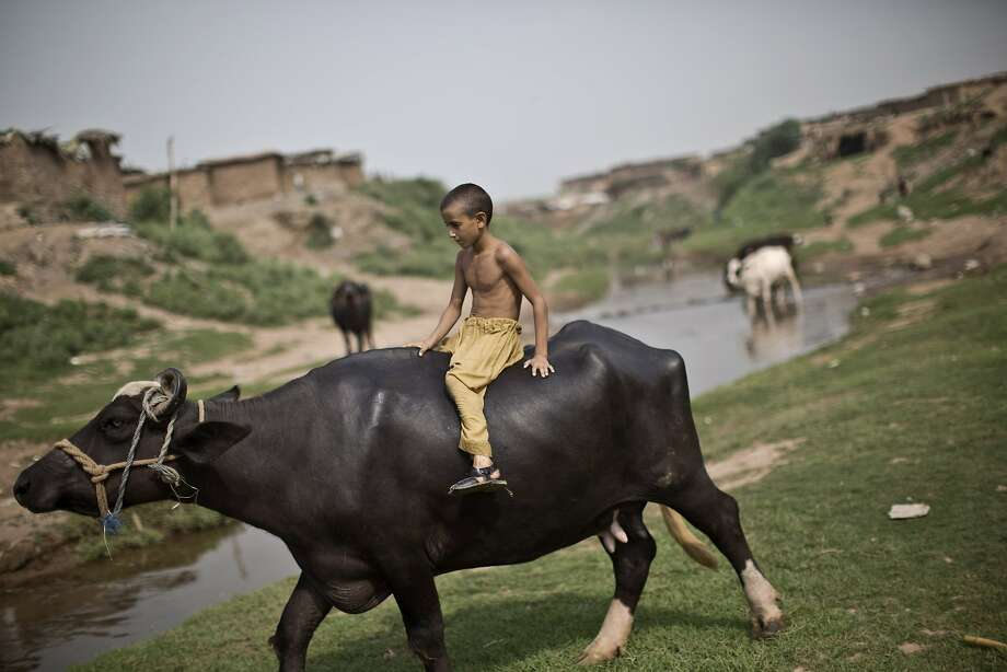 An Afghan refugee boy rides a buffalo while directing a herd toward a stream, on the outskirts of Islamabad, Pakistan, Thursday, Aug. 21, 2014. (AP Photo/Muhammed Muheisen) Photo: Muhammed Muheisen, Associated Press