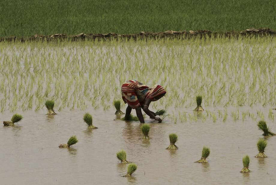 An Indian woman plants rice saplings at a paddy field after monsoon rains on the outskirts of Puri, Orissa, India, Thursday, Aug. 21, 2014. The annual monsoon season, which runs from June through September, is vital for the largely agrarian economies of South Asia. (AP Photo/Biswaranjan Rout) Photo: Biswaranjan Rout, Associated Press