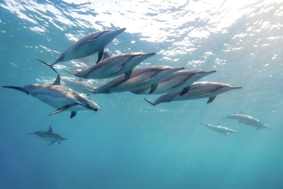 Spinner Dolphin Schools of spinner dolphins leap and twirl out of the water and splash down creating a noise that can be heard for long distances underwater.  Experts still don't know if they are actually trying to communicate or are simply doing it for fun. Photo: Michael Nolan, Getty Images