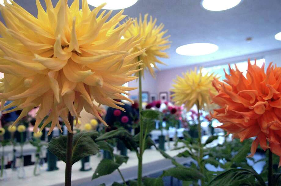 The Greenwich Dahlia Society is holding its 7th Annual Dazzling Dahlias Show on Sept. 20 from 1 to 4 p.m. and on Sept. 21 from 10 a.m. to 3 p.m. at the Garden Education Center, 130 Bible St. Photo: File Photo, Greenwich Time / Greenwich Time