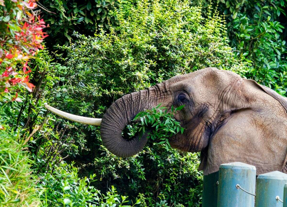 Watoto, a 45-year-old African elephant, was euthanized late Friday, Aug. 22, 2014 at Woodland Park Zoo.