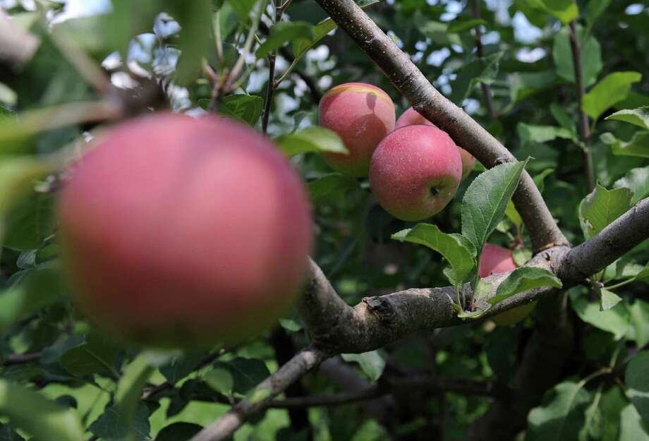Ripe apples hang from an apple tree at Blue Jay Orchards in Bethel, Conn. Wednesday, Aug. 20, 2014.  This yearâÄôs apple crop is developing late, which means a smaller harvest and much less availability of pick-your-own apples. Photo: Tyler Sizemore / The News-Times