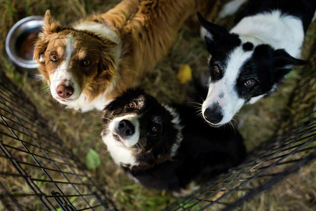Border Collies relax in the the shade between competitions during the annual Vashon Sheepdog Classic Friday, August 22, 2014, at Misty Isle Farms on Vashon Island, Washington. Open competition continues through Sunday, with Monday reserved for younger, novice canines.