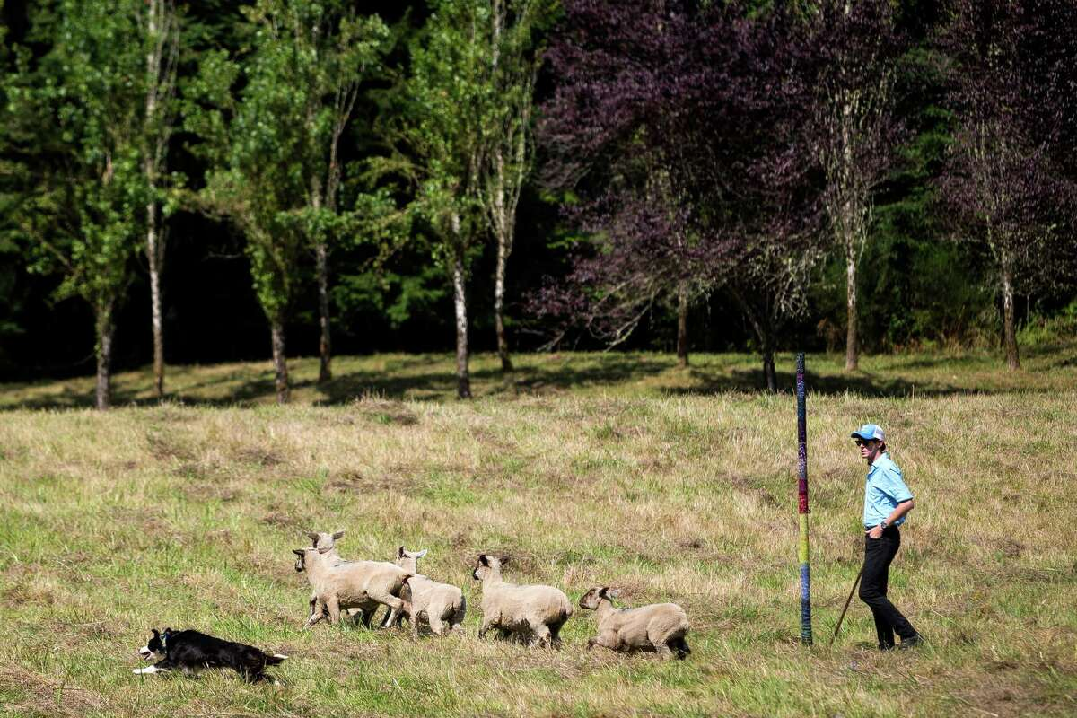 Derek Fisher, of Boise, Idaho, works with his Border Collie to herd Willamette Valley lambs to and fro according to his commands during the annual Vashon Sheepdog Classic Friday, August 22, 2014, at Misty Isle Farms on Vashon Island, Washington. Open competition continues through Sunday, with Monday reserved for younger, novice canines.