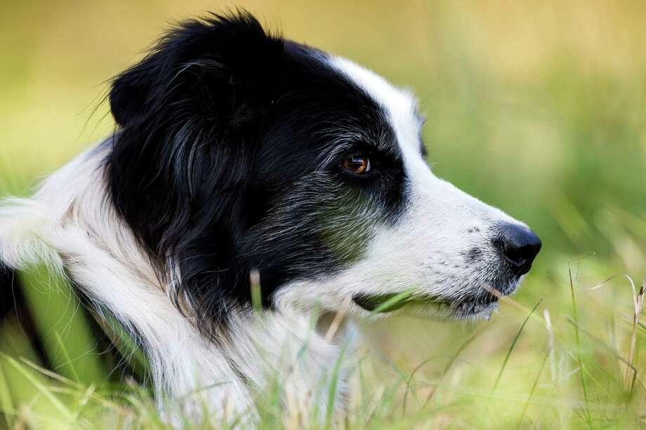 30 (tie). Oscar and Ginger: 147 Seattle dogs registered under those names Photo: JORDAN STEAD, SEATTLEPI.COM / SEATTLEPI.COM