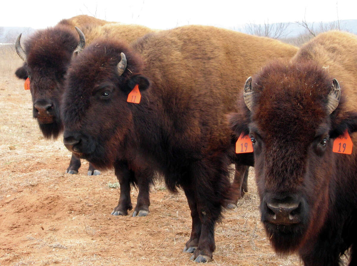 These bison at the Caprock Canyons State Park, which are the original descendants of a herd started by Charles Goodnight, the celebrated Panhandle rancher in the late 1800s, were photographed in 2005.