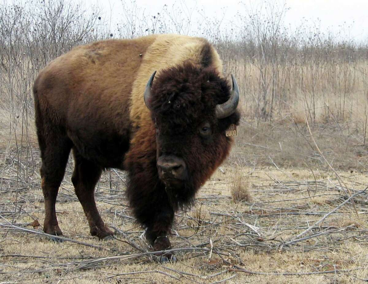 In this 2005 photo, a bison bull, donated by media mogul Ted Turner, grazes at Caprock Canyons State Park. About 100 bison descended from the Southern Plains herd now have access to 10,000 acres in Caprock Canyons State Park.