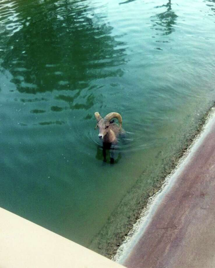 In this Sunday, Aug. 17, 2014 photo provided by Riverside County Animal Control, a bighorn sheep is stuck in a canal near the Arnold Palmer course at the PGA West Country Club in La Qunita, Calif. Peninsula bighorn sheep, an endangered species, often roam onto golf courses to graze on soft grass. Animal Control Officer Kyle Stephens said the animal appeared lethargic and he could see hoof marks where the sheep had tried to pull himself out, but algae or moss made the sloped surface too slick to climb. Stephens used his control stick to loop one of the sheep's horns and pulled the animal out. Its gender wasn't noted. Photo: Kyle Stephens, AP  / AP2014