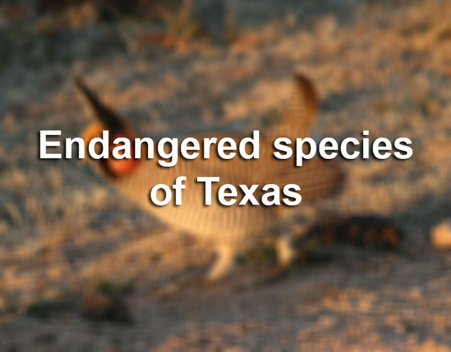 The state of Texas and U.S. government list a combined 200+ Texas species as either endangered of threatened. Here are a few. For more info on these species or to view the full list, visit our searchable datatase. Photo: Jon McRoberts, .