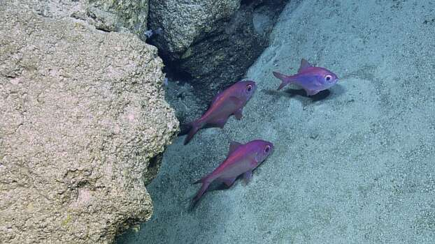 There are 500 different fish species on the Mesoamerican reef. Photo: Ocean Exploration Trust
