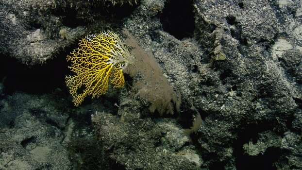 Yellow coral. Photo: Ocean Exploration Trust