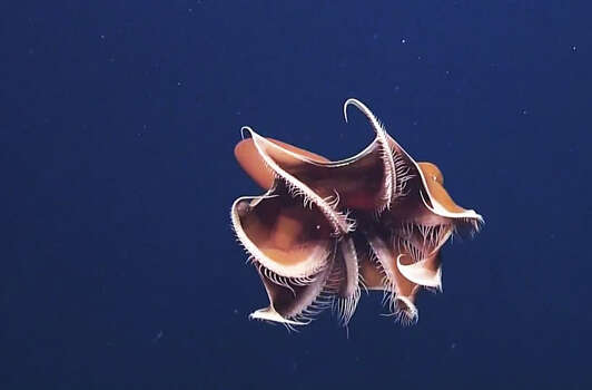 This octopus is known as Dumbo because of its fins that flap like tiny elephant ears reminiscent of the Disney character. Photo: Ocean Exploration Trust