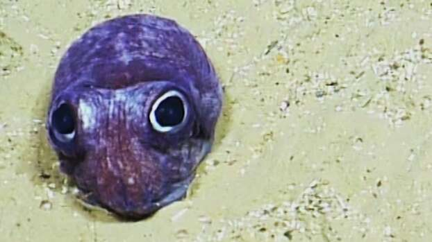 This big eyed beauty is actually more closely related to a cuttle fish. Photo: Ocean Exploration Trust