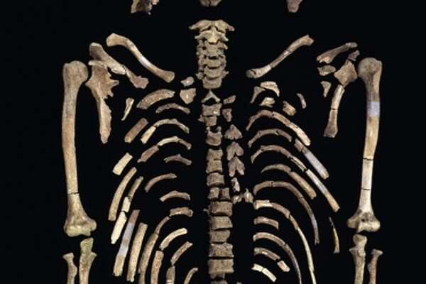 The exceptionally well-preserved skeleton of Kennewick Man is represented by nearly 300 bones and bone fragments.