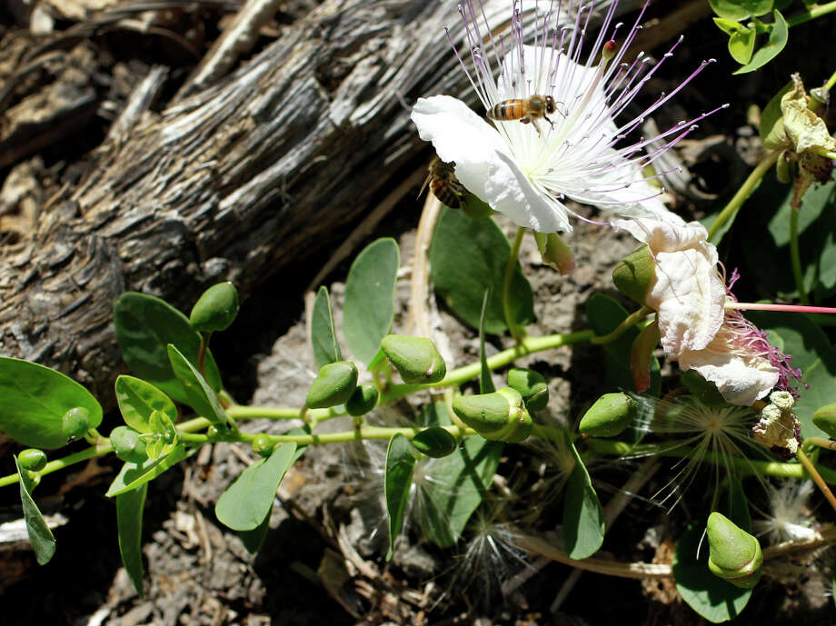 A flowering heirloom caper plant attracts bees in Jacobsen's Yountville orchard. Photo: Brant Ward / Brant Ward / San Francisco Chronicle / ONLINE_YES