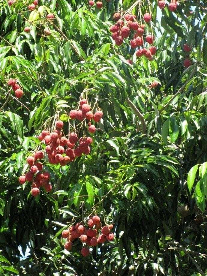 """Lychee (LEE-chee):A Chinese tree fruit that has sweet cherry notes. Audio: Click here to hear the term """"Lychee."""" Photo: Forest & Kim Starr, Www.hear.org"""