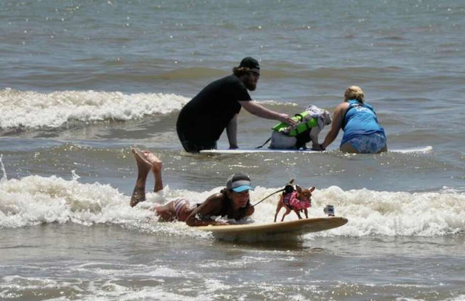 26 dogs took to their boards at the cry of Surf's Up Sunday. Galveston Island Humane Society say they hope they can make the event an annual extravaganza with beach side games for kids added too. Photo: Galveston Island Humane Society