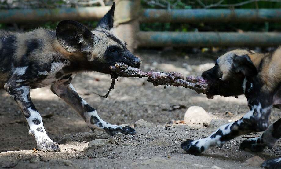 I saw it first! African wild dog siblings fight for a piece of meat at the Bioparco (Zoo) of Rome. The 3-month-old pups, Zampa and Sax, until recently had been fed by their mother, but obviously they have since moved on to solids. Photo: Tiziana Fabi, AFP/Getty Images
