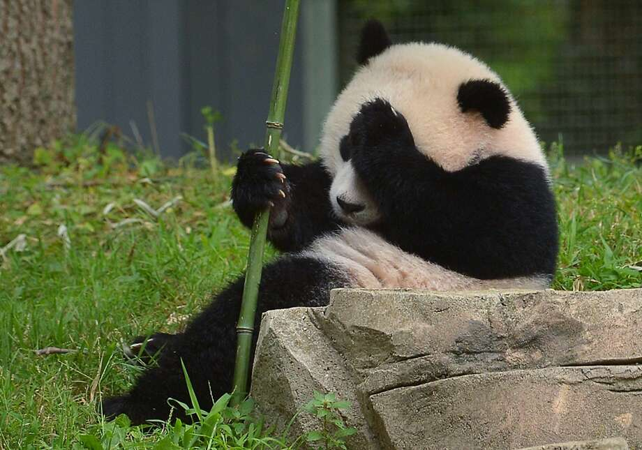 I could have had a V8!Bao Bao holds her head after eating vegetarian cake at her first birthday party at the National Zoo in Washington. Photo: Mandel Ngan, AFP/Getty Images