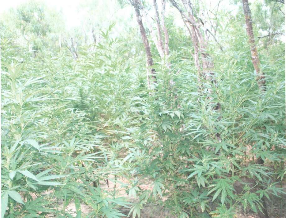 A 2-acre pot farm found by the Willacy County Sheriff's Office near Harlingen, Texas, had 11,500 plants and was worth more than $10 million, officials said. Authorities hand picked the plants, some of which stood 8 feet tall, to ensure they would not continue to grow. Photo: Courtesy