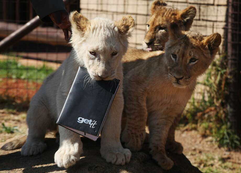 Dear Diary, today they let us out to see the Hoomans ...A white lion cub steals a keeper's   notebook as he and his siblings are introduced to the public at the Johannesburg Zoo. Photo: Denis Farrell, Associated Press