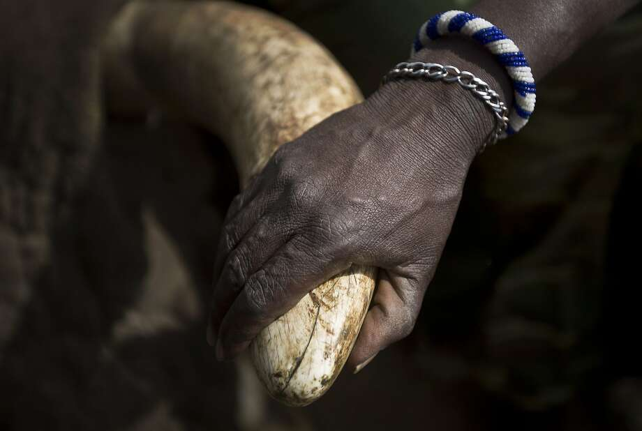 A Maasai tribesman holds a tusk during an antipoaching collaring operation near Kajiado. Photo: Ben Curtis, Associated Press
