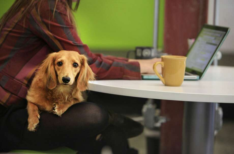 Intern Beth McCarthy, above, works at StartX-QB3 Labs with Toby on her lap. Photo: Lea Suzuki, The Chronicle