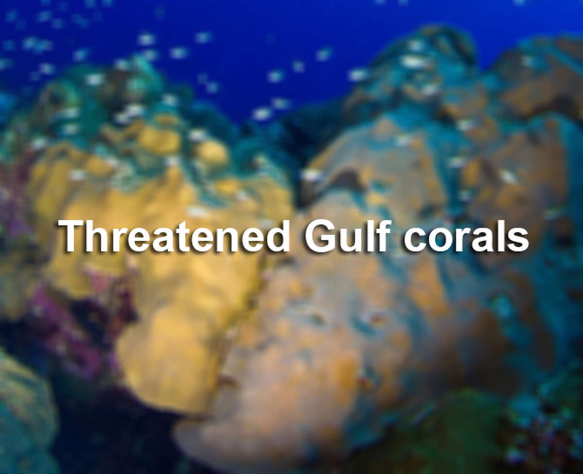 The Associated Press reports the federal government is protecting 20 types of colorful coral by putting them on the list of threatened species, partly because of climate change. Of those 20, these seven species live in the Gulf of Mexico or Caribbean.