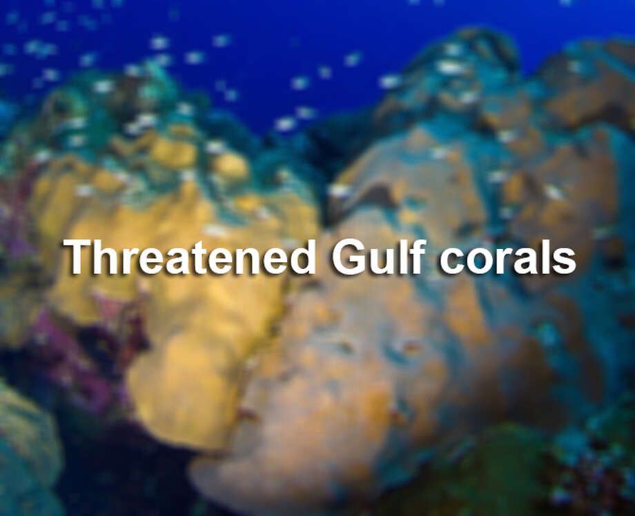 The Associated Press reports the federal government is protecting 20 types of colorful coral by putting them on the list of threatened species, partly because of climate change. Of those 20, these seven species live in the Gulf of Mexico or Caribbean. Photo: Associated Press