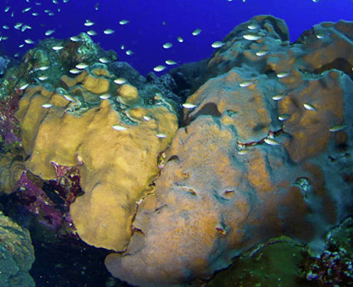 Mountainous star coral (Oribicella faveolata) lives in the Gulf of Mexico and the Caribbean.