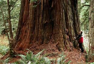 That's giant tree guru Michael Taylor  -- the Redwood Empire is a camping option