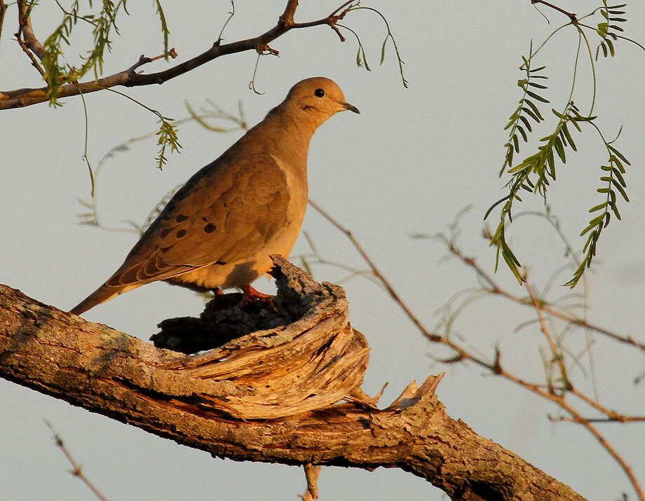 This has been a good year for Texas' mourning doves, with 2014's estimated breeding population of about 26.6 million birds, almost 5 percent above 2013. Photo: Picasa
