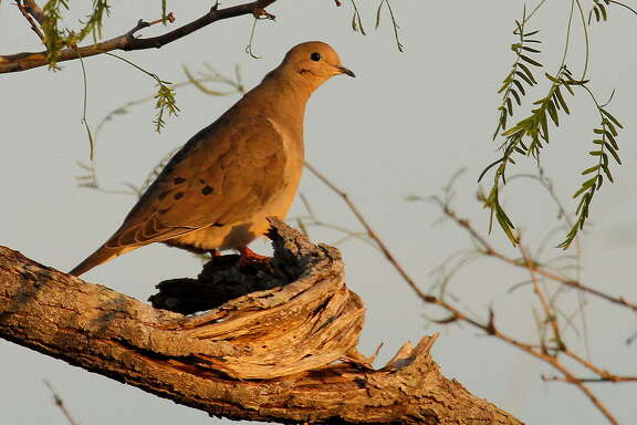 This has been a good year for Texas' mourning doves, with 2014's estimated breeding population of about 26.6 million birds, almost 5 percent above 2013.