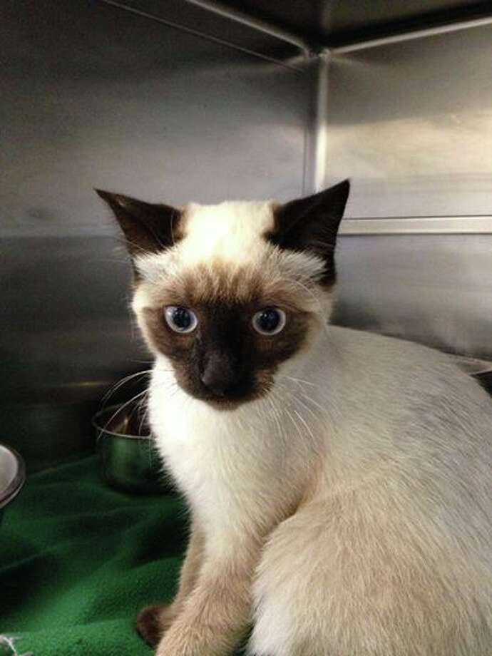 Male kitten found Yellowstone and Jefferson. Photo: Napa County Animal Shelter