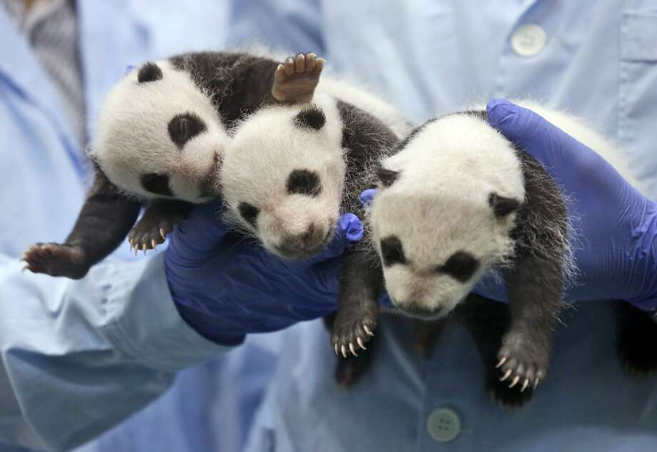 Future skydiver (left) and his bros: One month-old panda triplets get 