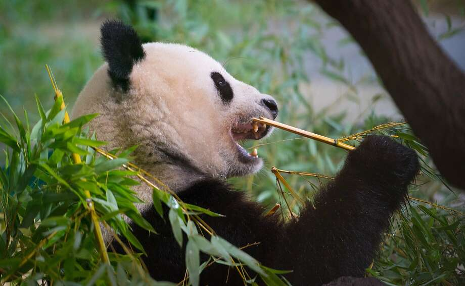 The importance of flossing:The last thing a Giant Panda wants is a bad case of gingivitis. (Schoenbrunn Zoo in Vienna.) Photo: Joe Klamar, AFP/Getty Images