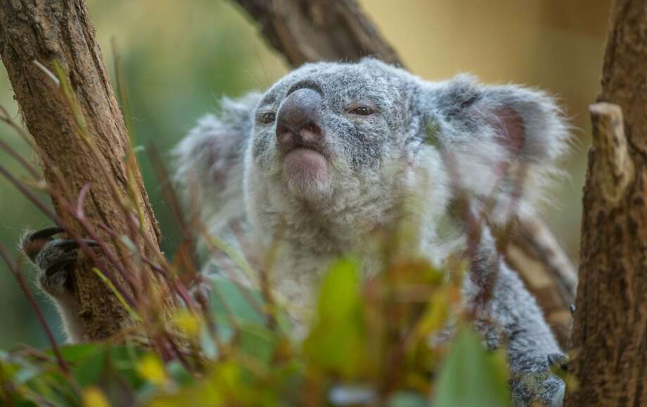 Do. Or do not. There is no try: May the force be with you at the Schooenbrunn Zoo in Vienna. (Sleepy Queensland's koala.) Photo: Joe Klamar, AFP/Getty Images