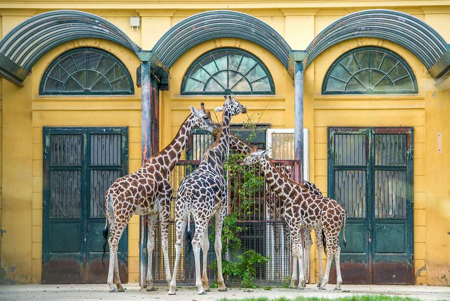I can't believe (chomp) we never noticed this tree (munch) before: Giraffes help themselves to vegetation at the entrance of their enclosure in the Schooenbrunn Zoo in Vienna. Photo: Joe Klamar, AFP/Getty Images