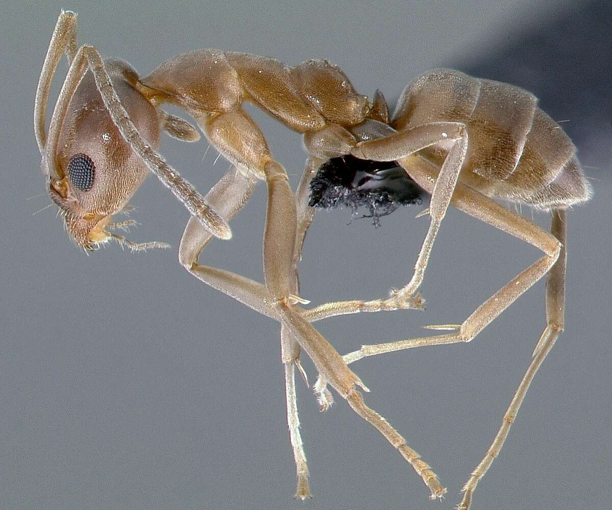 A profile view image of an Argentine ant specimen.