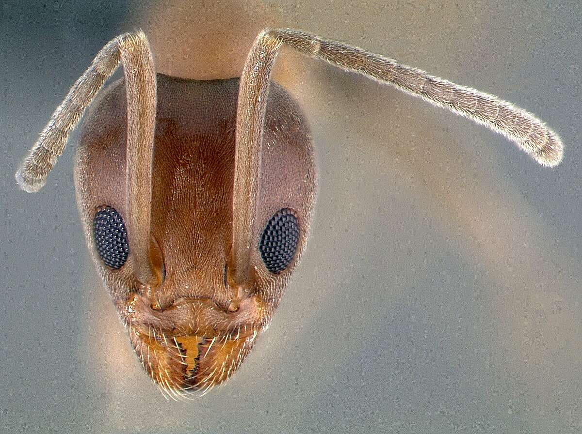 A head view image of an Argentine ant specimen.