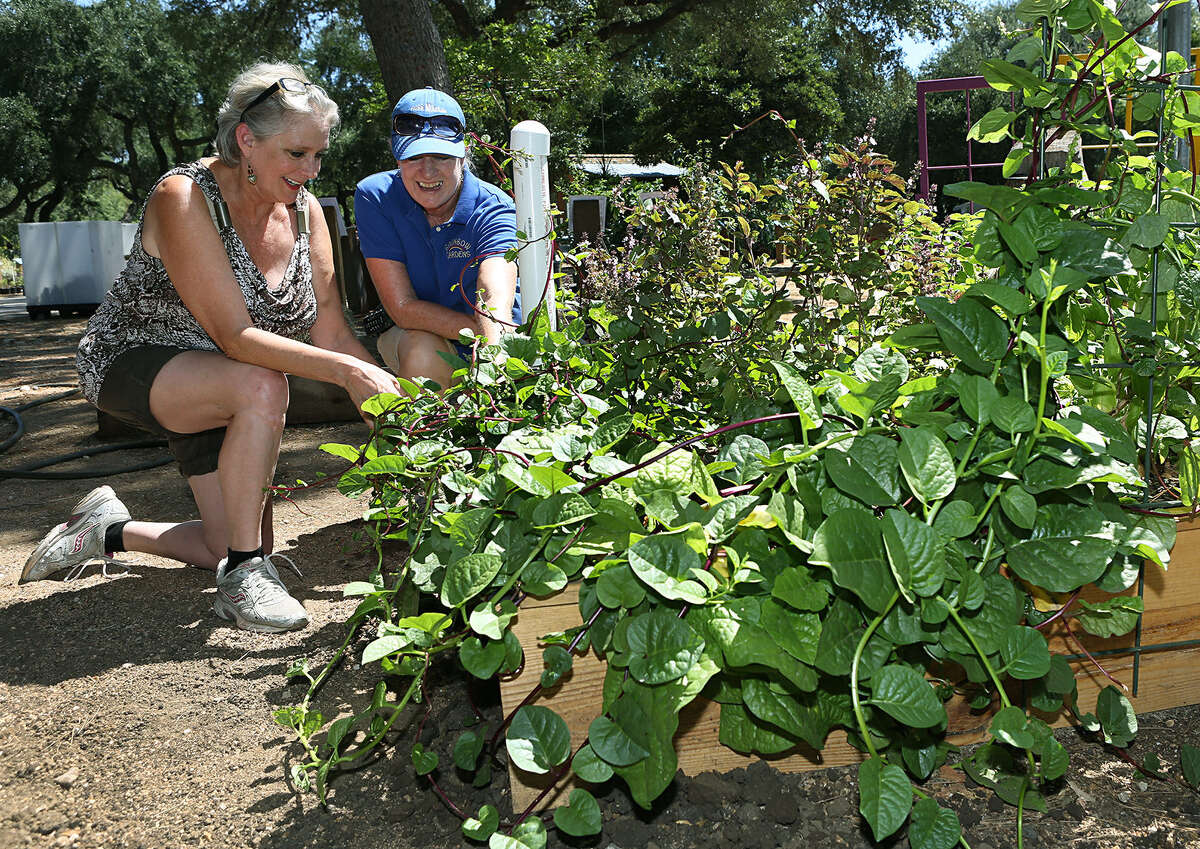 Patti Taylor (left) and Laura Jarvis of Rainbow Gardens inspect Malabar spinach in the wicking bed. The bed is watered about every two weeks through a pipe under the soil and delivers moisture to the roots.