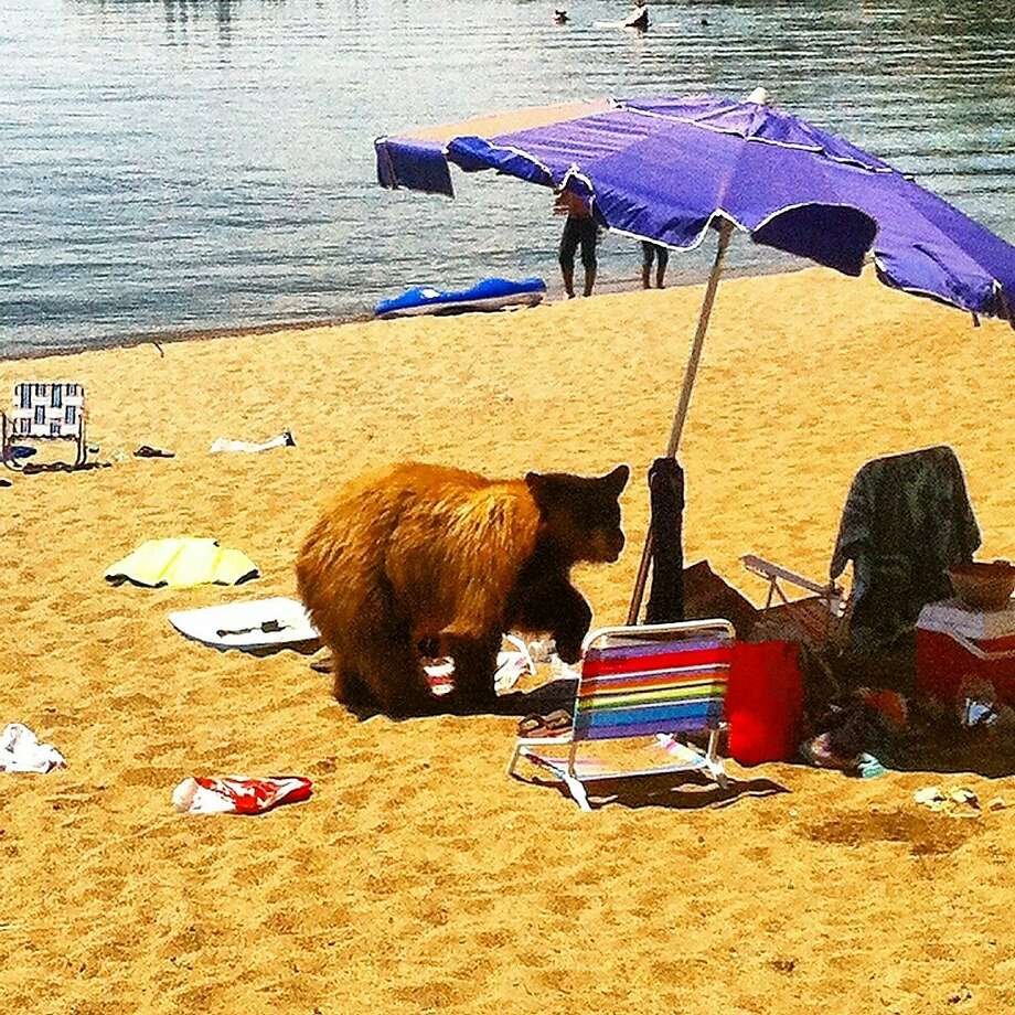 In July at Lake Tahoe, a bear broke up a party at Glenbrook Beach, looking for food. Photo: Nevada Department Of Wildlife