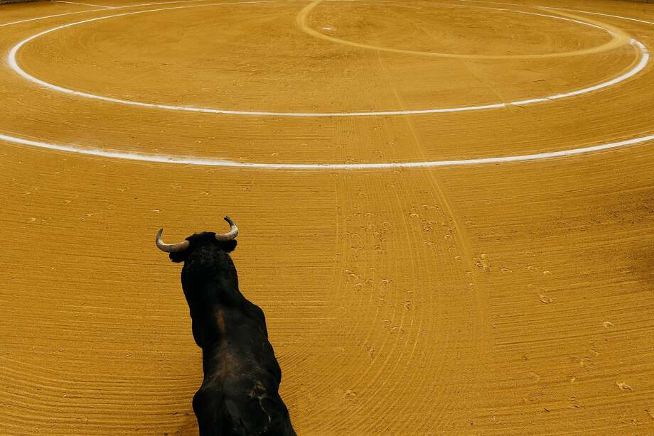 A doomed 'Vellosino' ranch fighting bull charges into the arena to face its fate during a 