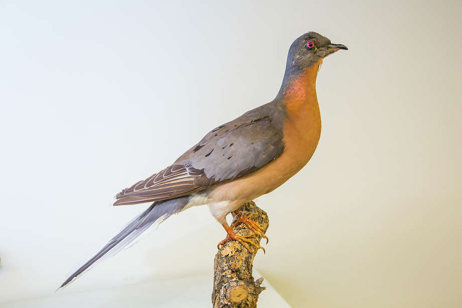 The last passenger pigeon died in 1914.  Mounted specimens of these beautiful birds exist in museum collections including those at the Houston Museum of Natural Sciences.  Photo Credit:  Kathy Adams Clark.  Restricted use. Photo: Kathy Adams Clark / Kathy Adams Clark/KAC Productions