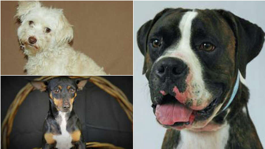 Look at these faces. One of them can be yours, maybe even all three! This weekend the Houston Humane Society is hosting a mega adoption event and some of these adorable canines can be yours for free. Take a look at just a few of the animals looking for forever homes. One could be your next roommate.  Photo: Humane Society