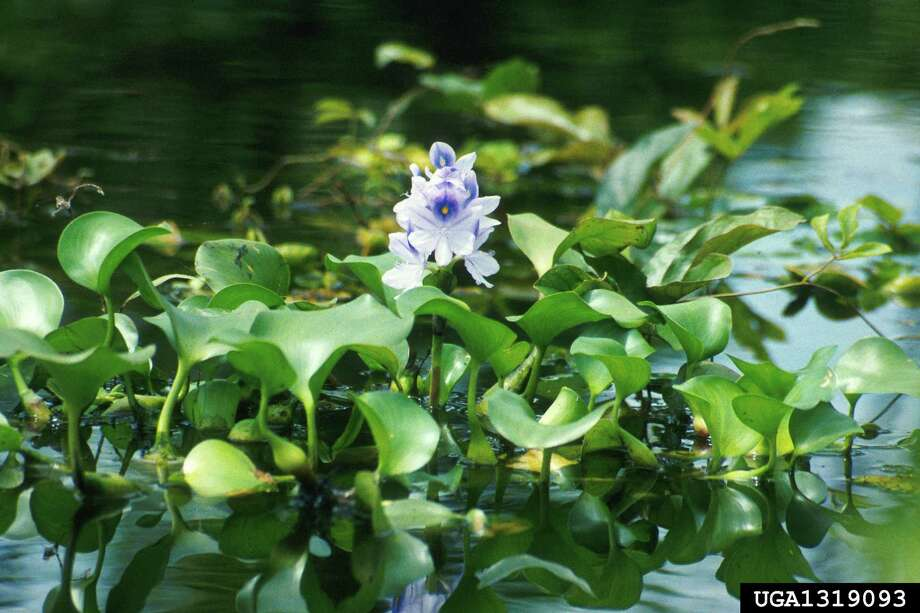 Common water hyacinth (Eichhornia crassipes)  Alters native vegetation and fish communities by lowering light penetration and dissolved oxygen levels. Impedes boat traffic on rivers and waterways and clogs irrigation canals and intake pumps. Photo: Ted D. Center, USDA Agricultural Research Service, Bugwood.org